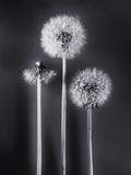 Dandelions Photographic Print by Graeme Harris