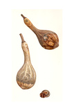Dried Gourds and Snail Shell, 2005 Giclee Print by Rachel Pedder-Smith