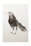 Young Crow Giclee Print by Janet Goddard
