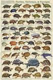 Turtles, Tortoises, & Terrapin Plakaty