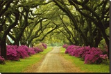 Beautiful Pathway Lined with Trees and Purple Azaleas Stretched Canvas Print