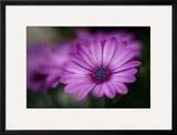 Purple Daisy Framed Photographic Print by Ursula Abresch