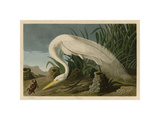 White Heron Giclee Print by John James Audubon