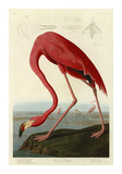 Flaming amerykański Wydruk giclee autor John James Audubon