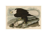 White-Headed Eagle Giclee Print by John James Audubon