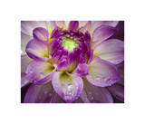 Royal Bloom Giclee Print by Dennis Frates