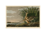 Long-Billed Curlew Giclee Print by John James Audubon