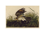 Winter Hawk Giclee Print by John James Audubon