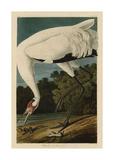 Hooping Crane Wydruk giclee autor John James Audubon