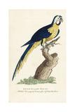 Blue and Yellow Macaw, Ara Ararauna Giclee Print by George Edwards