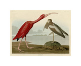 Scarlet Ibis Reproduction procédé giclée par John James Audubon