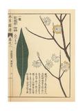 Oriental Paperbush or Mitsumata, Edgeworthia Chrysantha Giclee Print by Kan'en Iwasaki