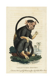 Red-Handed Tamarin, Saguinus Midas Giclee Print by George Edwards