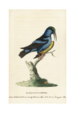Red-Legged Honeycreeper, Cyanerpes Cyaneus Giclee Print by George Edwards