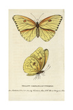Cloudless Sulphur, Phoebis Sennae Giclee Print by George Edwards
