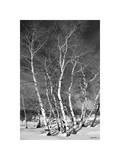 Jo's Aspens Giclee Print by Barry Hart
