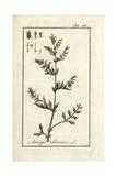 Wormseed or Semen Sanctum, Artemisia Santonica Giclee Print
