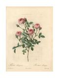 Rose De Meaux Rose, Rosa Centifolia Rose De Meaux Giclee Print by Pierre-Joseph Redouté