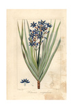 Nivenia Corymbosa, Native to South Africa Giclee Print by Pancrace Bessa