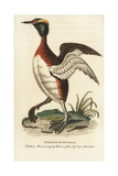 Horned Grebe, Podiceps Auritus Giclee Print by George Edwards