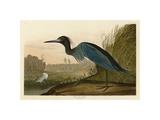 Blue Crane or Heron Wydruk giclee autor John James Audubon