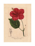 Chinese Hibiscus, Hibiscus Rosa Sinensis Giclee Print by Pancrace Bessa
