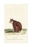 Bobcat, Lynx Rufus Giclee Print by Thomas Pennant