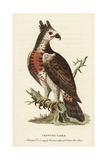 Crowned Eagle, Stephanoaetus Coronatus Giclee Print by George Edwards