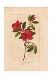 Southern Indian Azalea, Azalea Indica Giclee Print by Pancrace Bessa