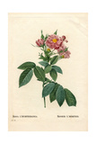 Boursault Rose, Rosa L'Heritierana Variety Giclee Print by Pierre-Joseph Redouté