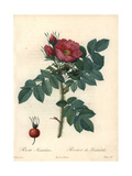 Kamtschatka Rose, Rosa Rugosa Var Kamtschatica Giclee Print by Pierre-Joseph Redouté