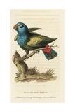 Blue-Headed Parrot, Pionus Menstruus Giclee Print by George Edwards