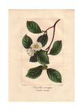 Christmas Camellia, Camellia Sasanqua, Native to Japan Giclee Print by Pancrace Bessa