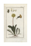 Mouse-Ear Hawkweed, Pilosella Officinarum Giclee Print