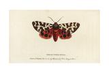 Garden Tiger Moth, Arctia Caja Giclee Print by Moses Harris