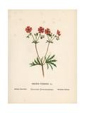 Bulbous Craw's Bill, Geranium Tuberosum Giclee Print by Hannah Zeller