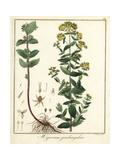 St Johnswort Species, Hypericum Quadrangulare Giclée-Druck von F. Guimpel