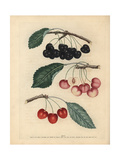 Cherry Varieties, Prunus Avium Giclee Print by George Brookshaw