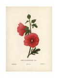 Hollyhock, Alcea Lavateraeflora Giclee Print by Hannah Zeller