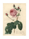 Great Cabbage-Leaved Rose, Rosa Centifolia Bullata Giclée-Druck von Pierre-Joseph Redouté