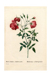 Bengale a Bouquets Rose, Rosa Chinensis Variety Giclee Print by Pierre-Joseph Redouté
