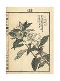 Dwarf Gardenia, Gardenia Augusta Radicans Giclee Print by Bairei Kono