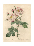 York and Lancaster Rose, Rosa Damascena Variety Giclee Print by Pierre-Joseph Redouté