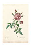 Bengale Nini Rose, Rosa Indica Ninia Giclee Print by Pierre-Joseph Redouté