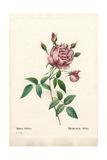 Bengale Nini Rose, Rosa Indica Ninia Giclee Print by Pierre-Joseph Redouté