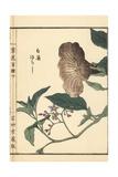 Lyreleaf Nightshade, Solanum Lyratum Giclee Print by Bairei Kono