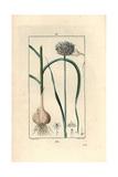 Garlic, Allium Sativum Giclée-Druck von Pierre Turpin