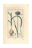 Garlic, Allium Sativum Giclee Print by Pierre Turpin