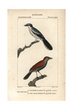 Great Grey Shrike and Black-Throated Ant-Shrike (Female) Giclee Print by Jean Gabriel Pretre