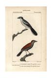 Great Grey Shrike and Black-Throated Ant-Shrike (Female) Giclee Print by Jean Gabriel Pretre